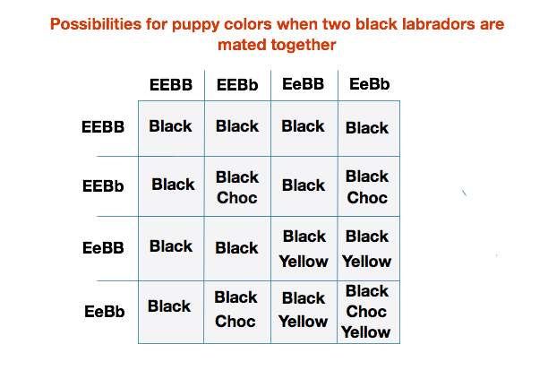Labrador Color Inheritance With New Puppy Color Charts