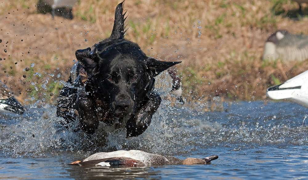Field Training A Working Dog Uk