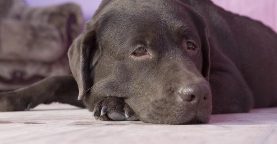 Brown labrador lying in room