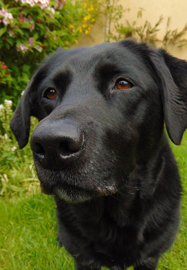 black labs are loving dogs, and make great hunting companions