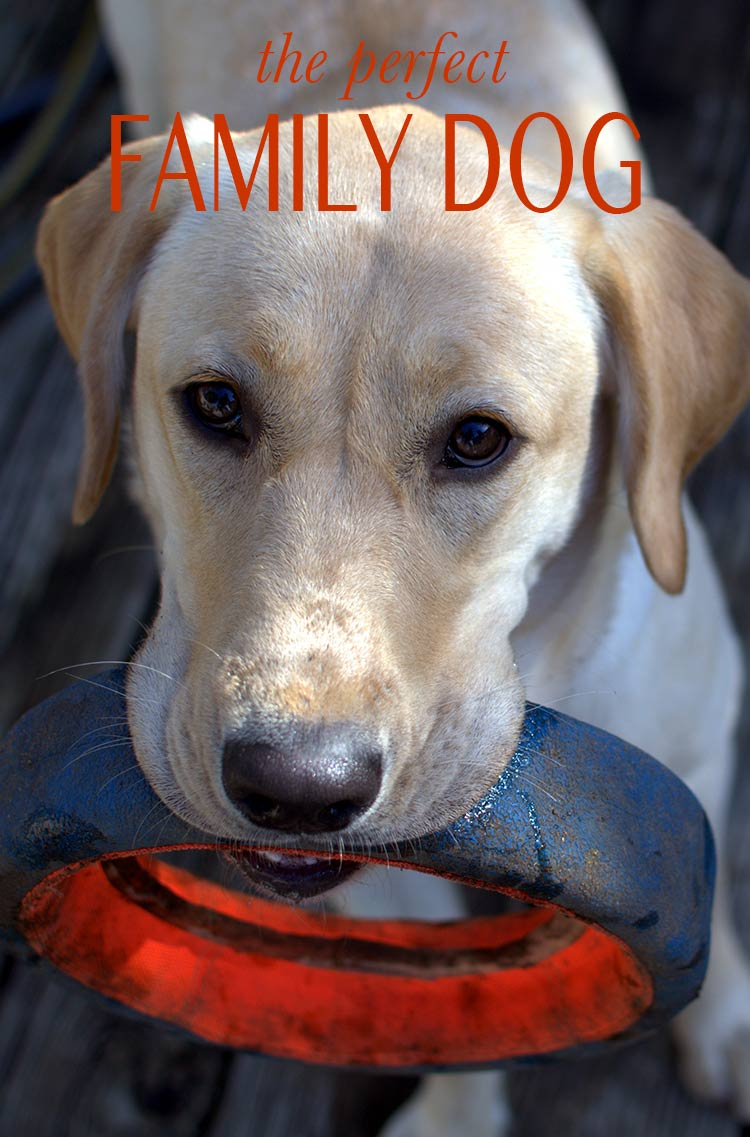 Yellow Lab - a guide to one of the world's most popular family dogs