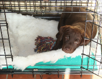 labrador puppy in a crate