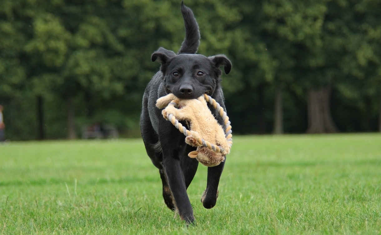 fetch is an excellent way to exercise your lab under control