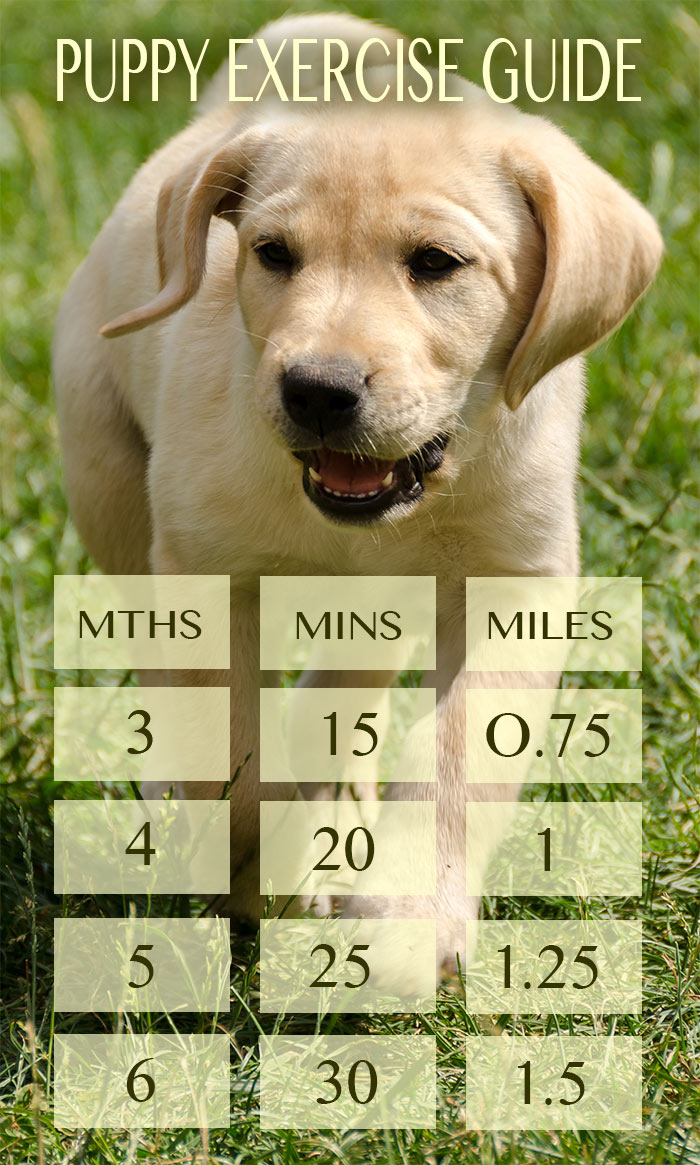 Labrador puppy exercise how much is too much puppy exercise chart in miles and minutes for each month of age geenschuldenfo Image collections