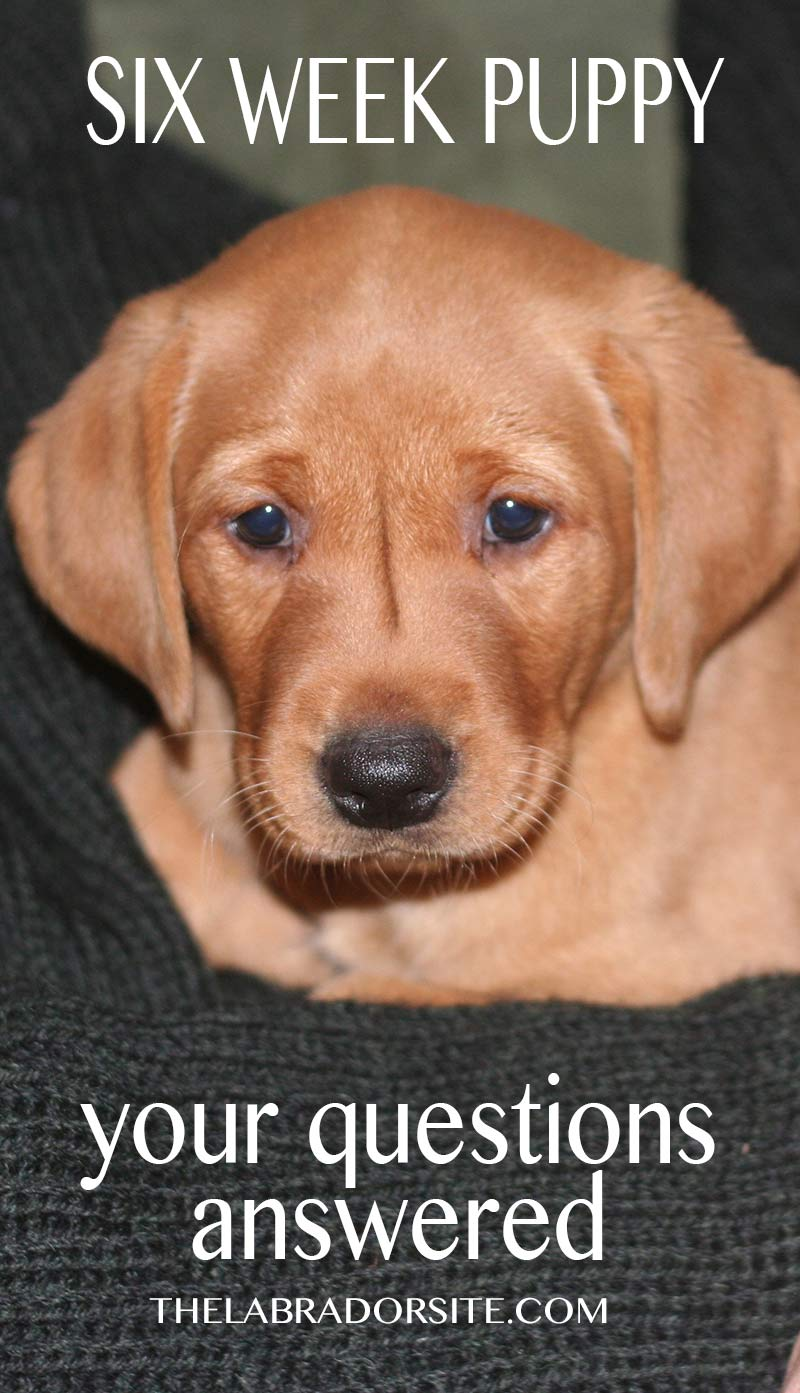 Your six week old puppy questions answered