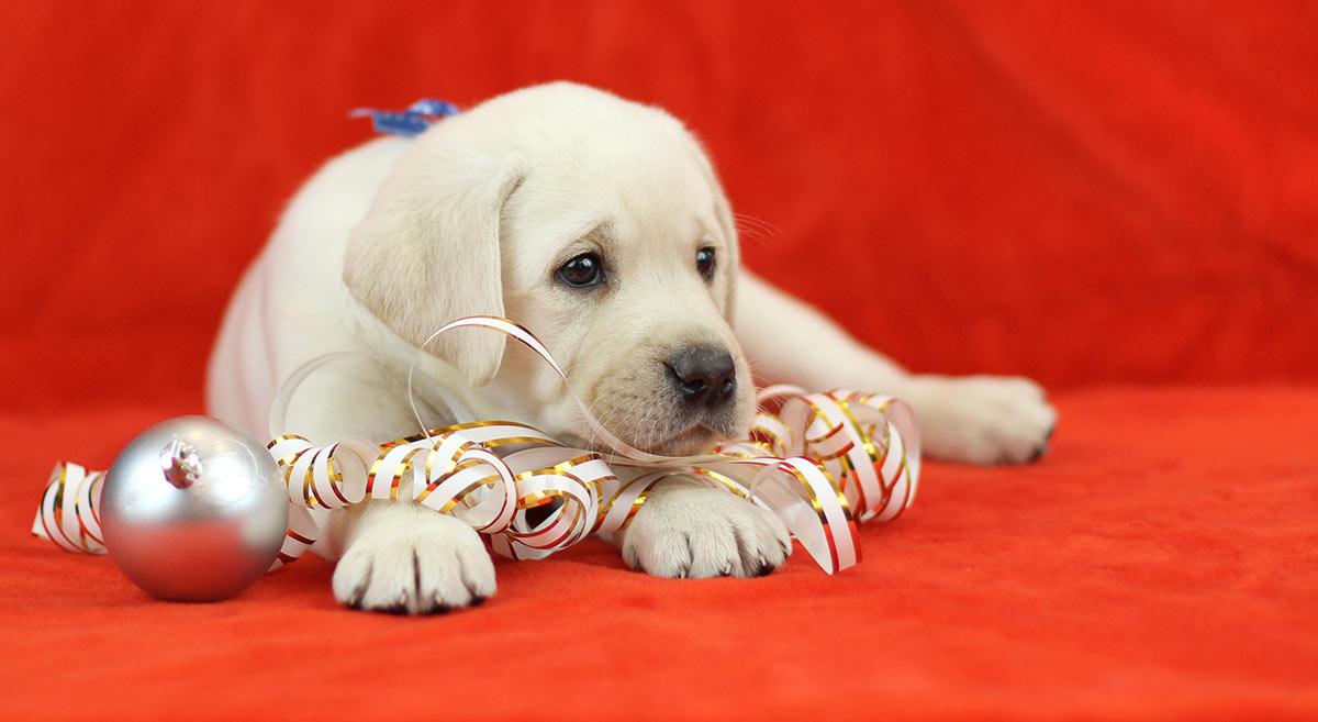lab-puppy-christmas