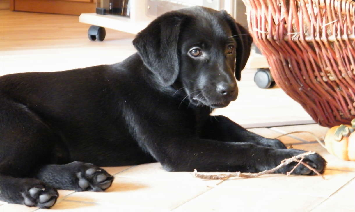 Best Dog Food For  Year Old Lab
