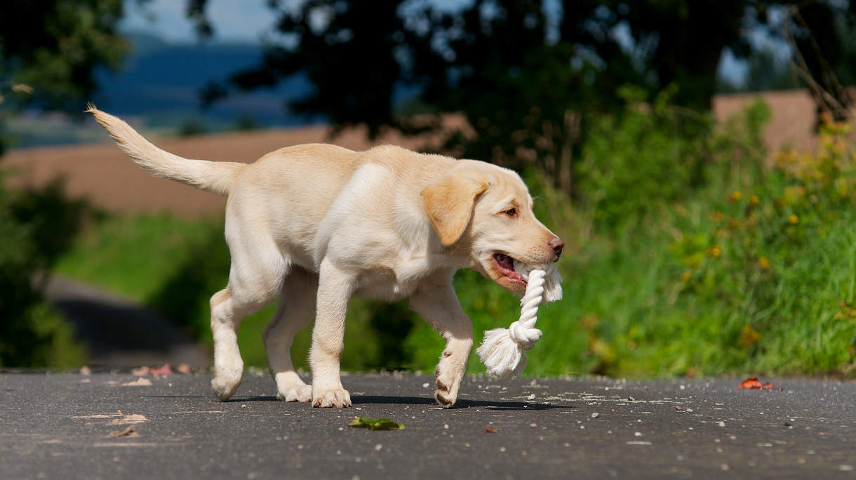 How To Stop A Dog From Chewing And Survive The Lab Chewing