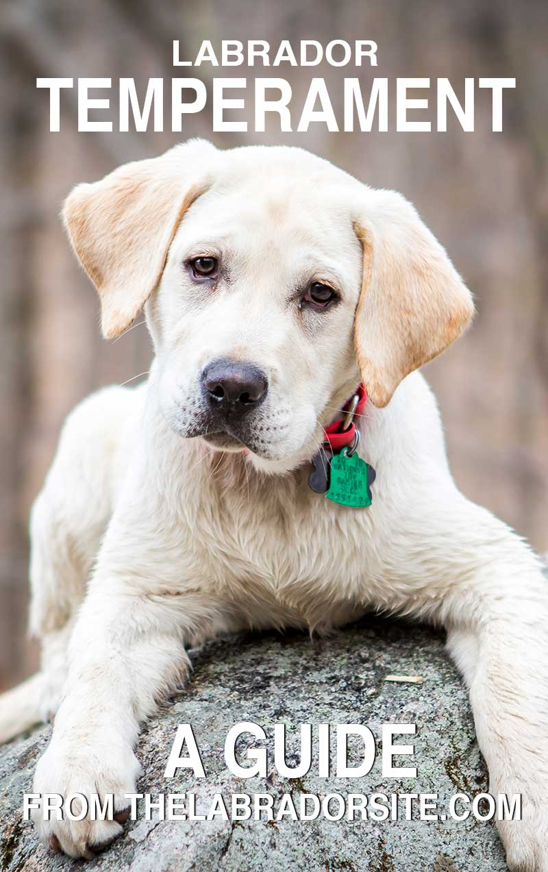 Labrador Temperament - Find Out What Labradors Are Really Like
