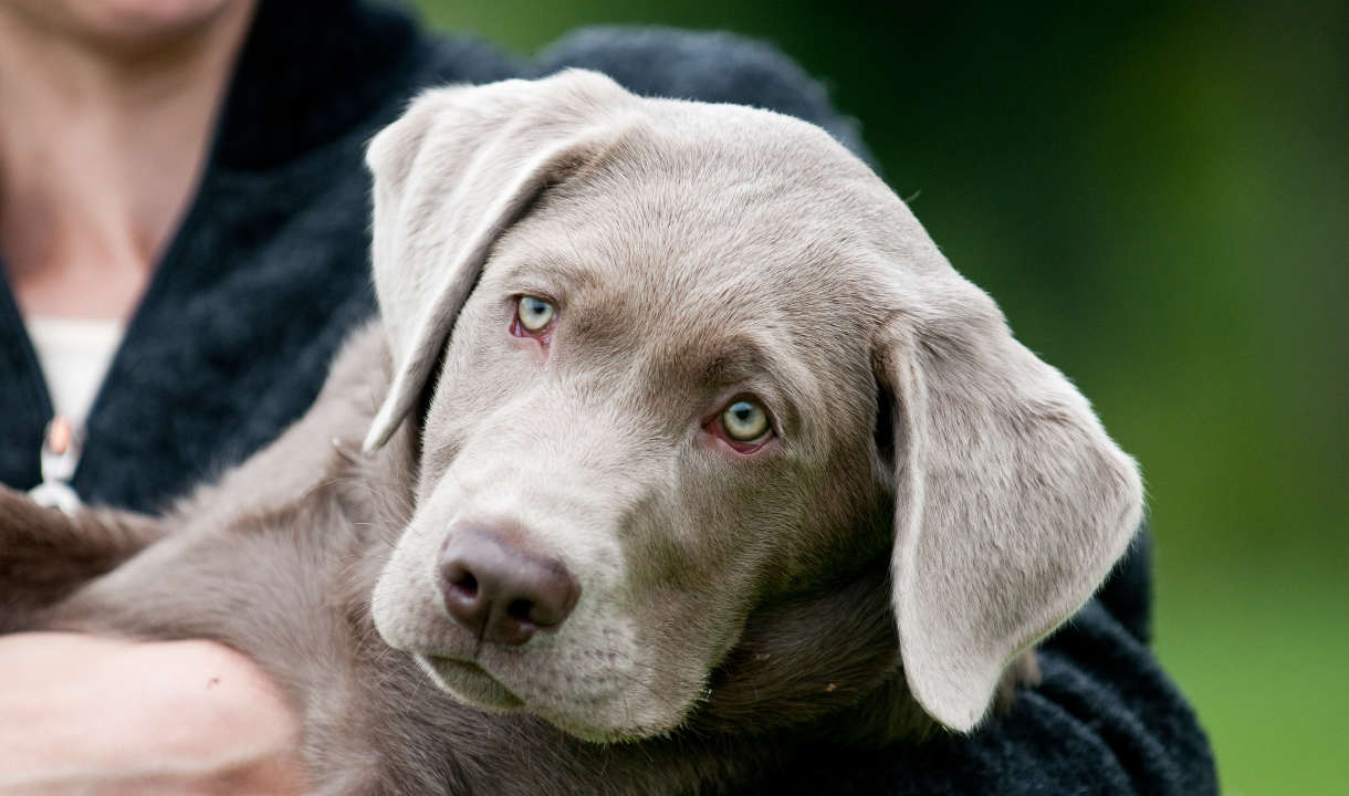 Which labrador colour is best silver labrador puppy nvjuhfo Image collections