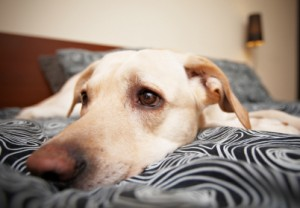 bed sharing Labrador