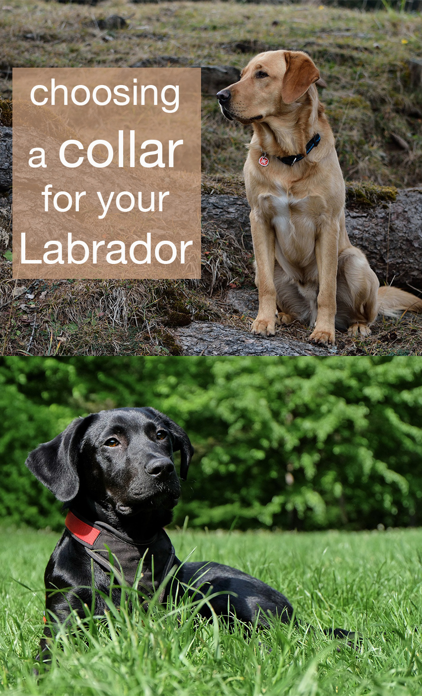 How to choose a collar for your dog
