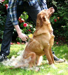 Labrador Shedding It S The Moulting Season Again