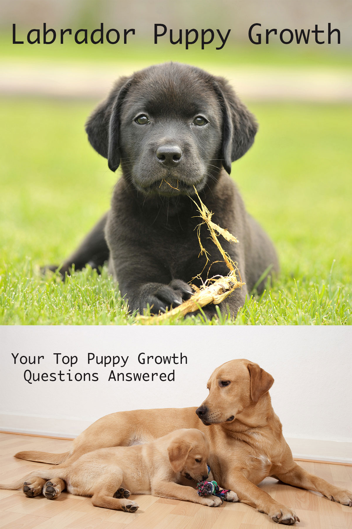 When do dogs stop growing labrador puppy growth chart and faq find out how much your pup should weigh how much bigger your puppy will get geenschuldenfo Image collections