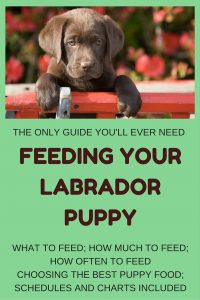 labrador puppy feeding and puppy food guide