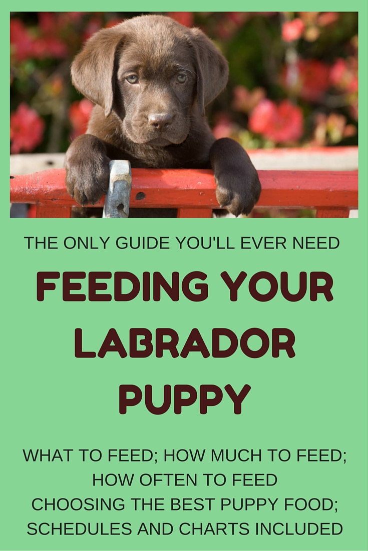 Feeding your labrador puppy full guide and diet chart labrador puppy feeding and puppy food guide geenschuldenfo Image collections