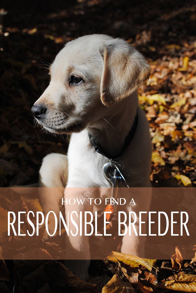 how to find a good breeder when you are looking for a puppy