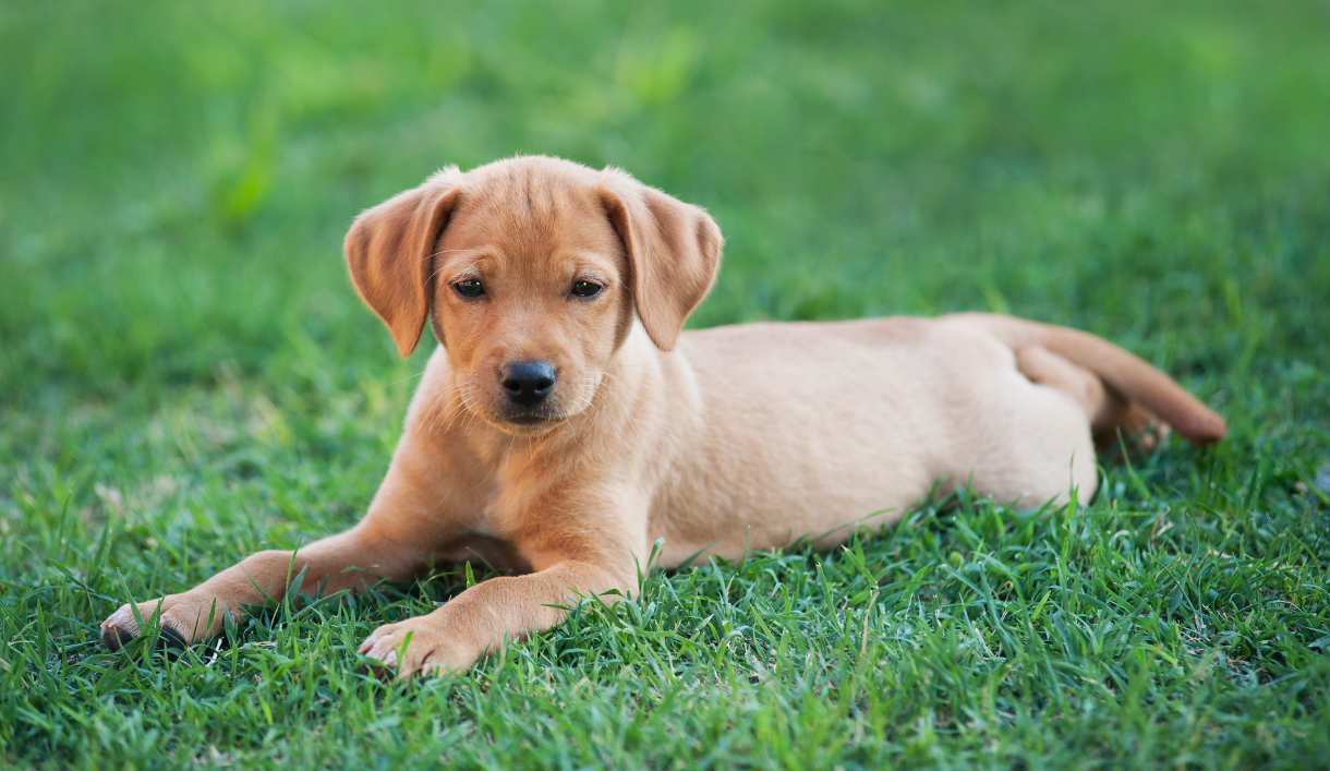 Labrador Names: Hundreds of Great Ideas to Help You Name Your Dog ... for Cute Lab Dog Puppy  146hul