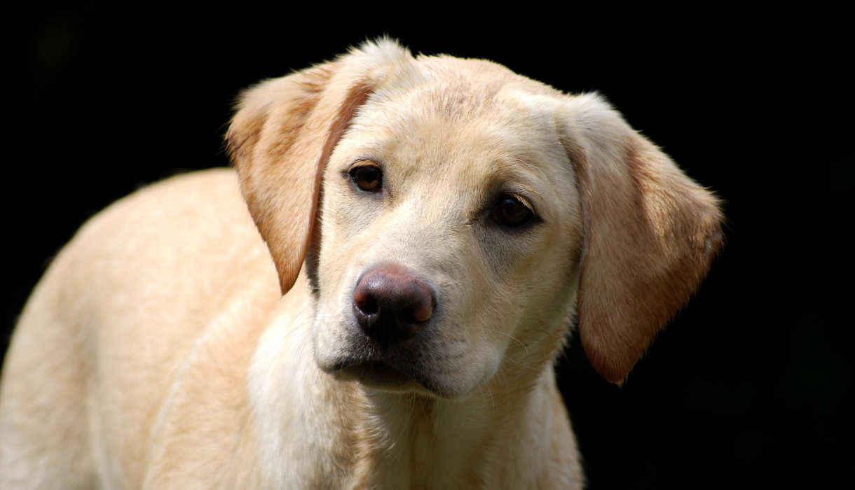 Which Labrador Colour Is Best