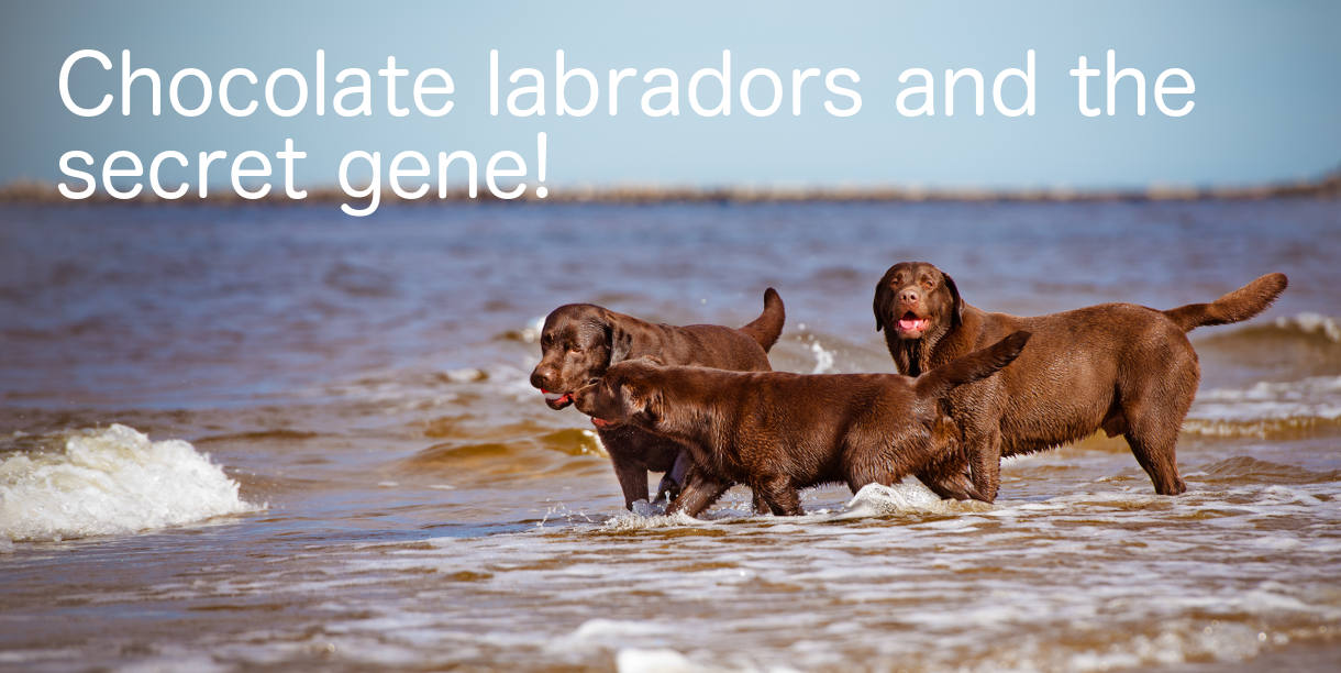 Labrador Chocolate Color - These chocolate labs are having great fun on the beach