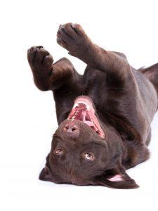 Funny chocolate Lab dog