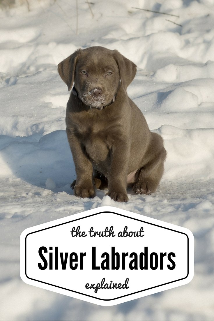 silver labradors - an unusual and controversial color pup