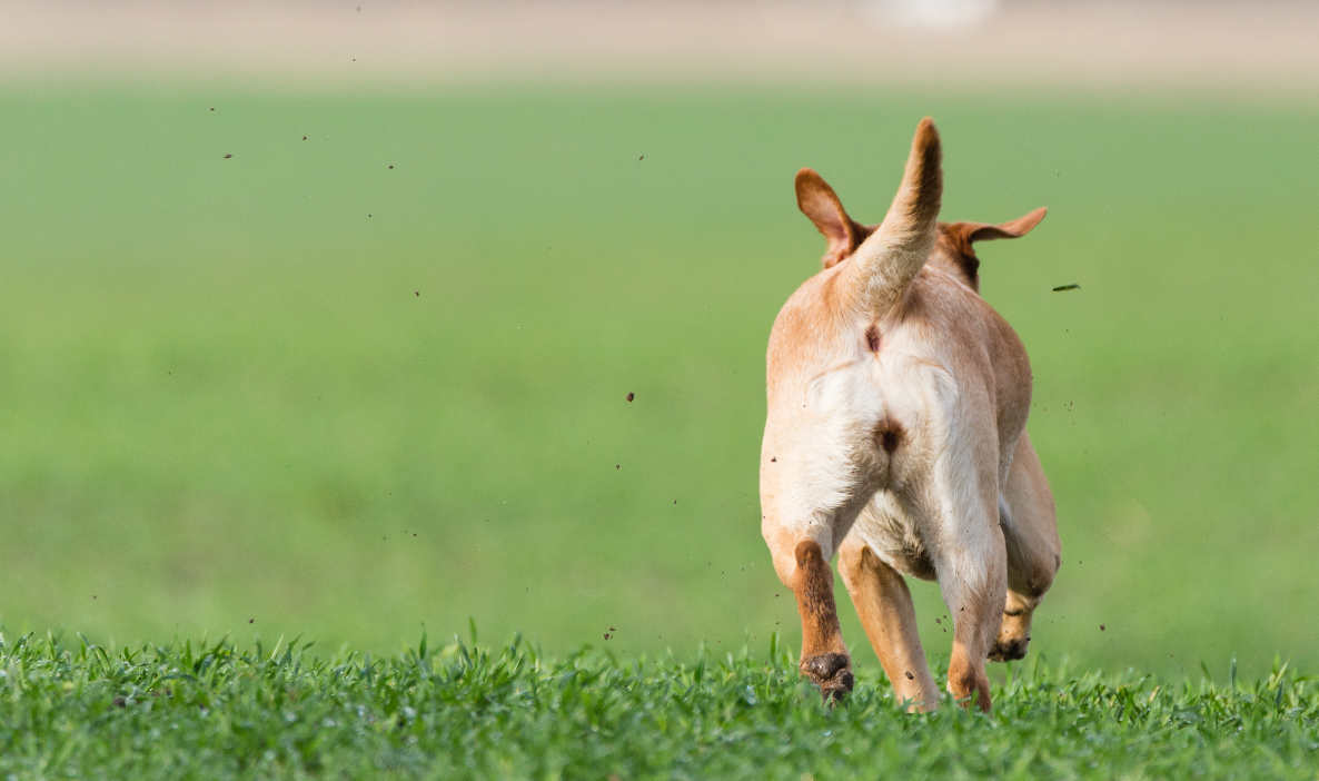 Dogs Running Away - How To Stop Them