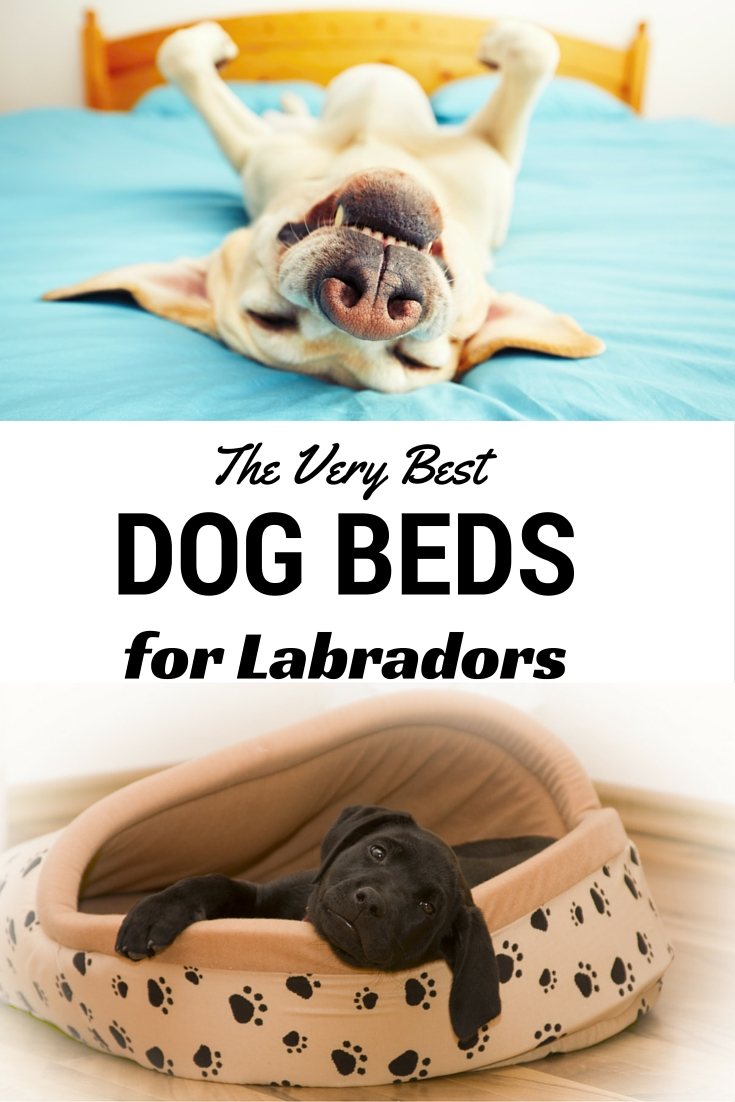 A review of the very best dog beds for Labradors and other large breed dogs.