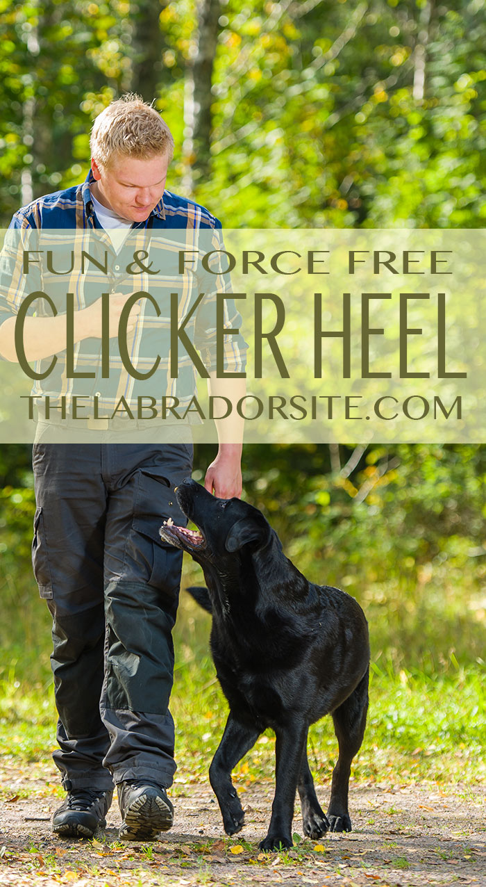 Train your dog to walk to heel off leash and without force