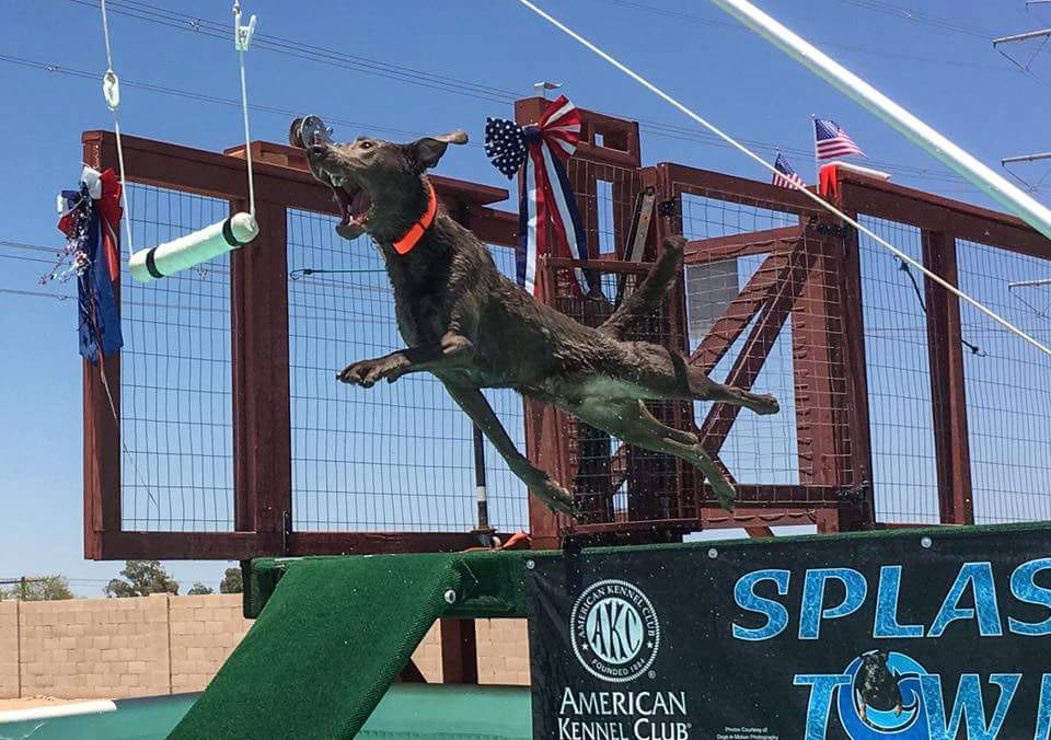 silver Lab dock diving in the USA