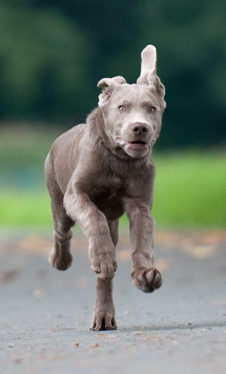 Beautiful young silver lab galloping towards his master, unaware of the controversy that surrounds his ancestry