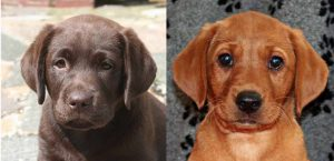 English vs American Lab puppies. There are some strong differences between the two types.