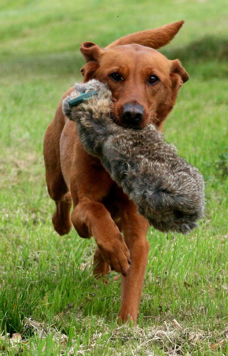Foxred lab retrieving a rabbit skin bumper