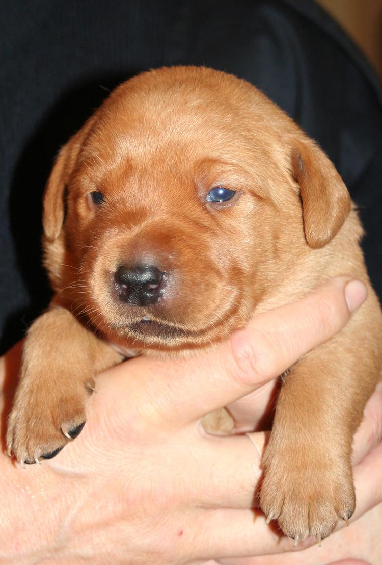 One Week Old Fox Red Lab Puppy