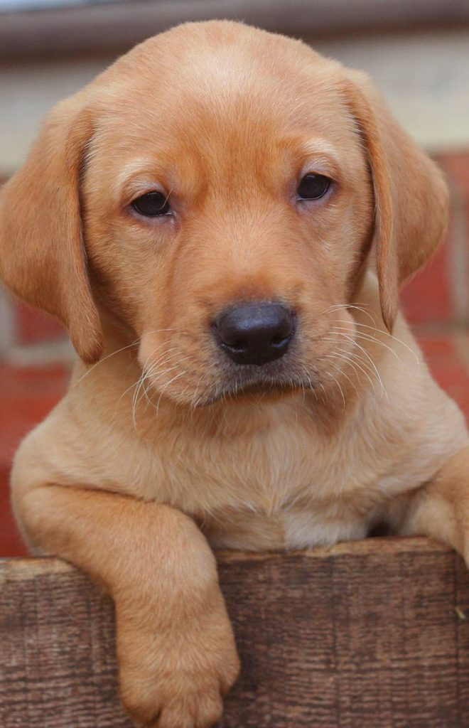 Six Week Old Labrador Puppy And A Great By Development Guide