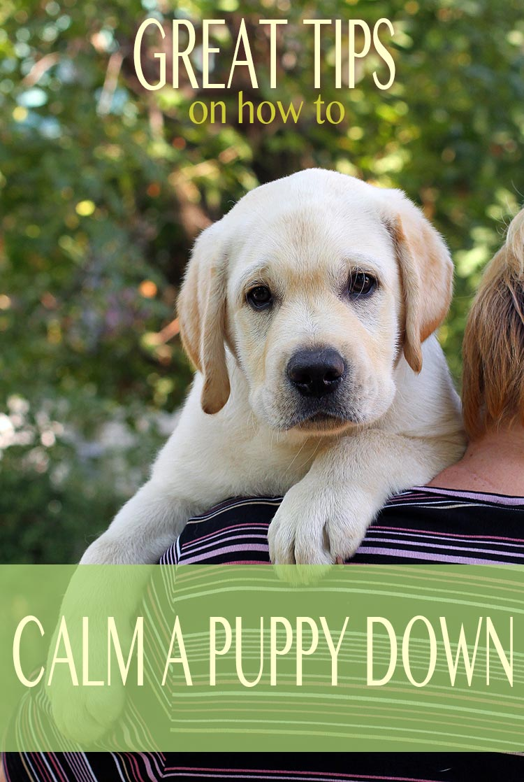 How to calm an over excited puppy the labrador site how to calm a puppy down from biting and reduce over excitement m4hsunfo Images