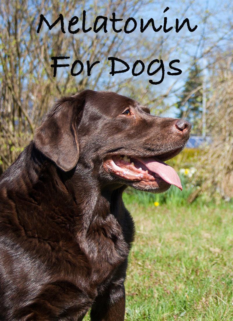 Can You Give Dogs Melatonini