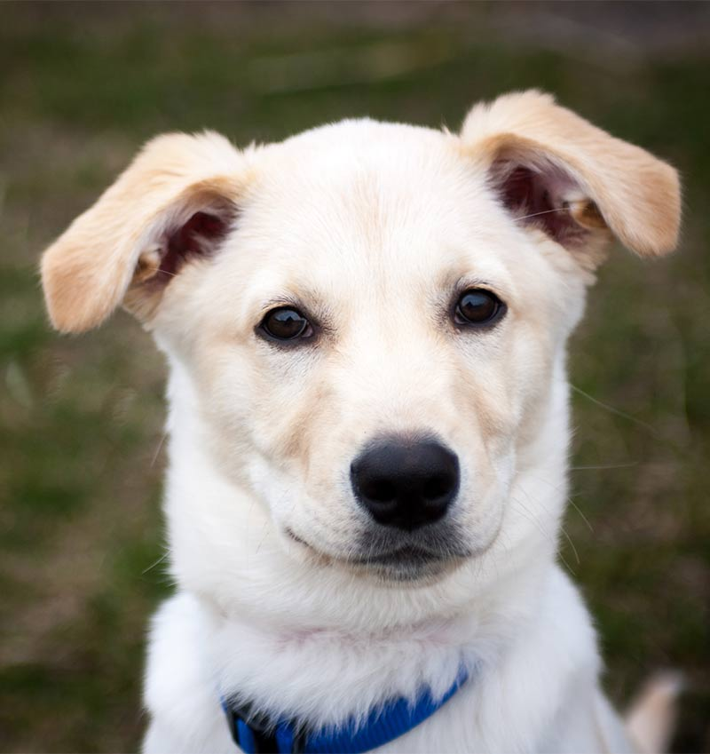 Husky Lab Mix - The Labrador Site