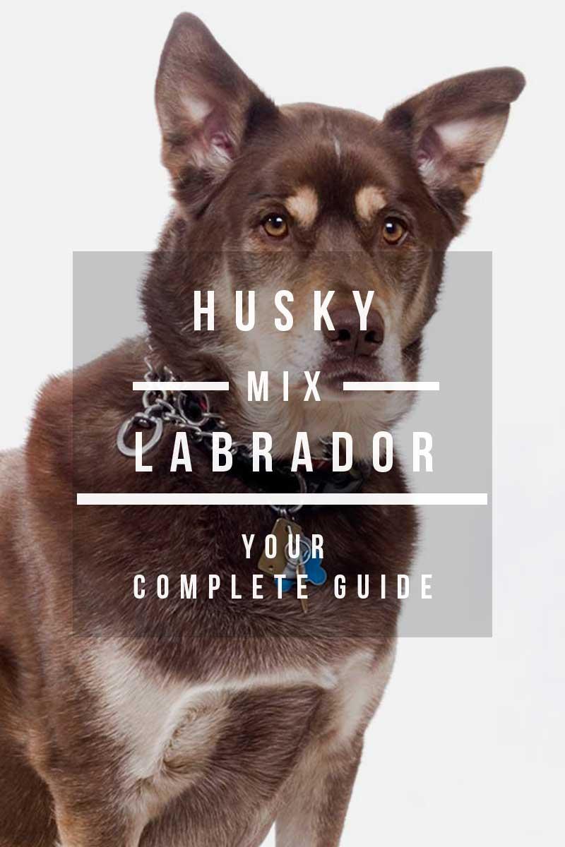Husky Labrador Mix - Your complete guide to the Labrador Husky cross breed.