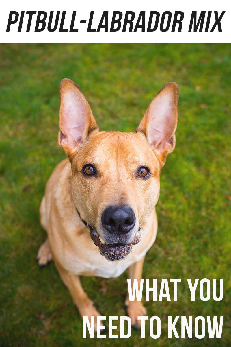 Pitbull Labrador mix - mix breed info