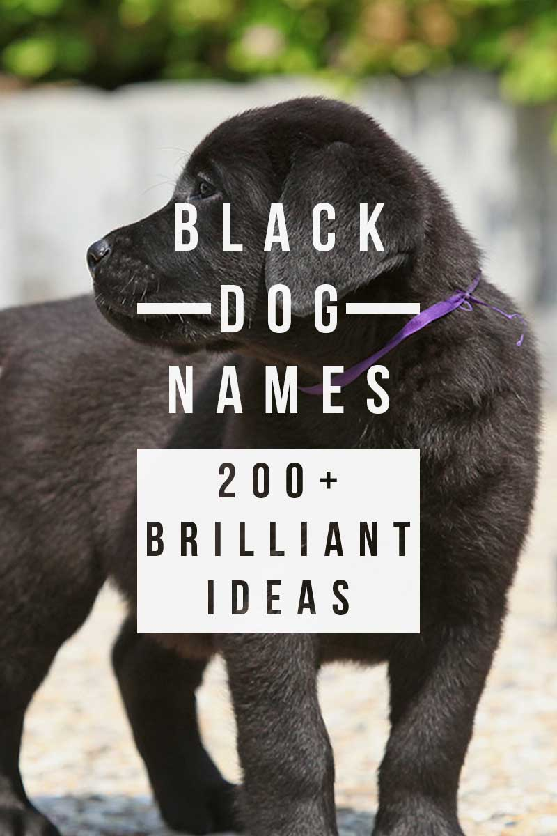 Black Dog Names – Over 200 Brilliant dog name Ideas