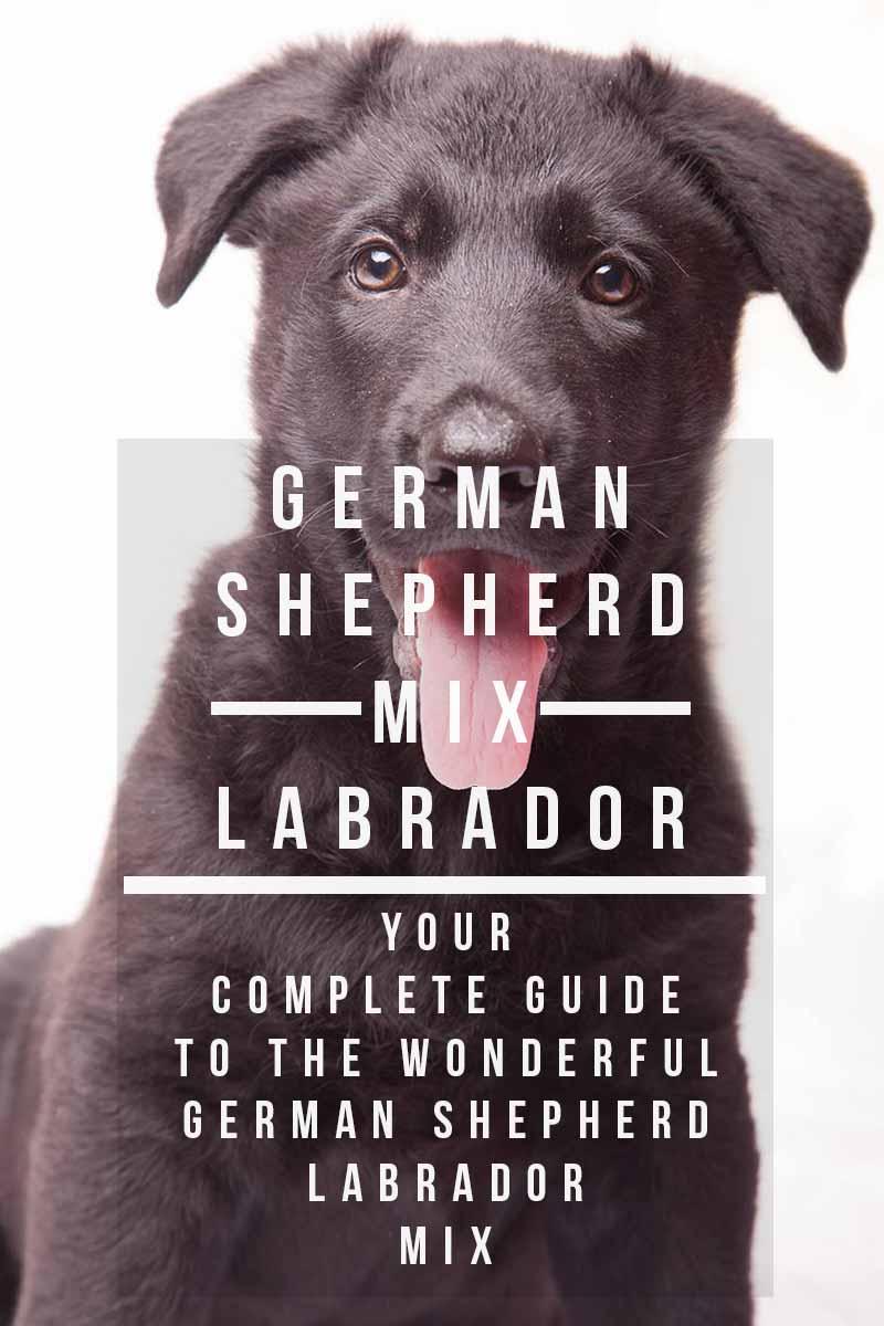 Black Lab German Shepherd MixPuppies For Sale