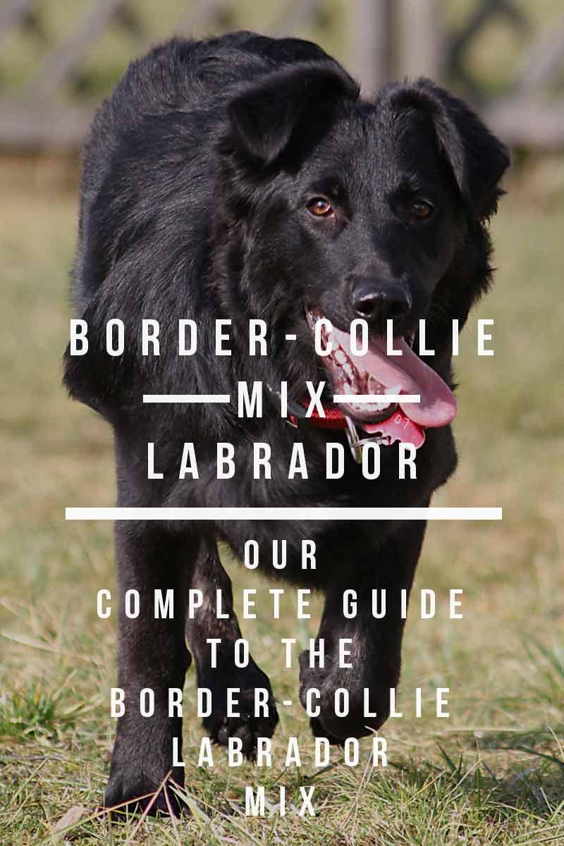 Border collie lab pitbull mix