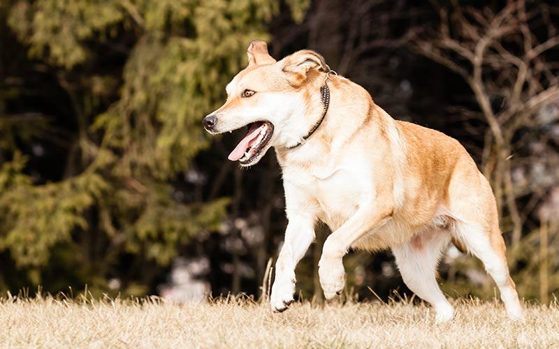 German Shepherd Dog/Labrador Retriever Mix Puppy - Google Search