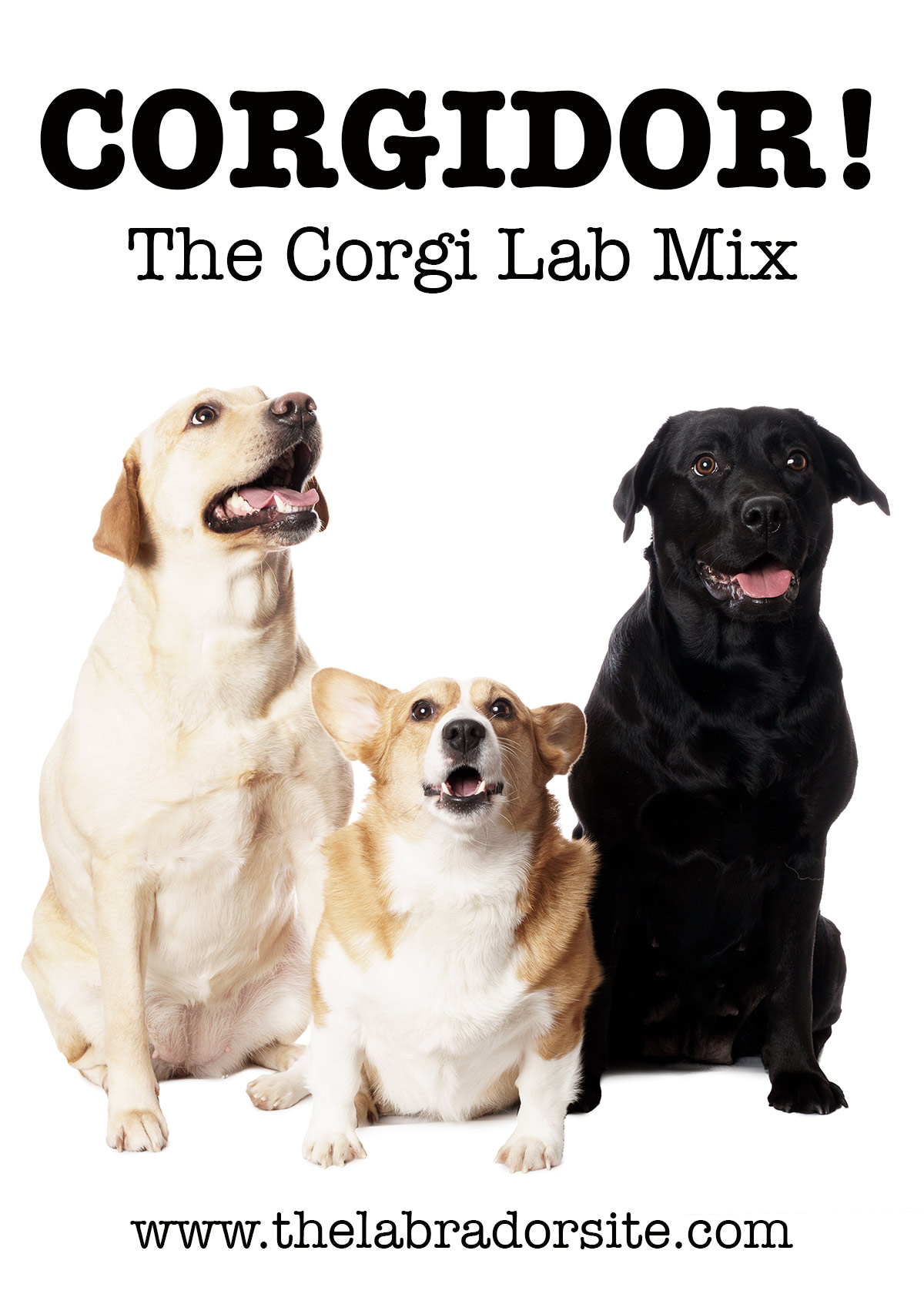 Corgi Lab Mix - Corgidor