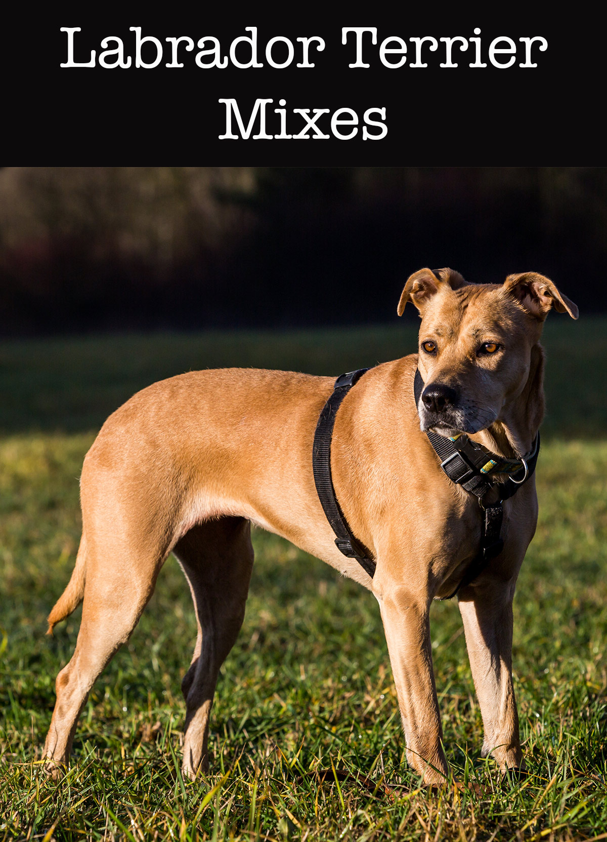 Lab terrier mix what to expect from this diverse cross lab terrier mix geenschuldenfo Image collections