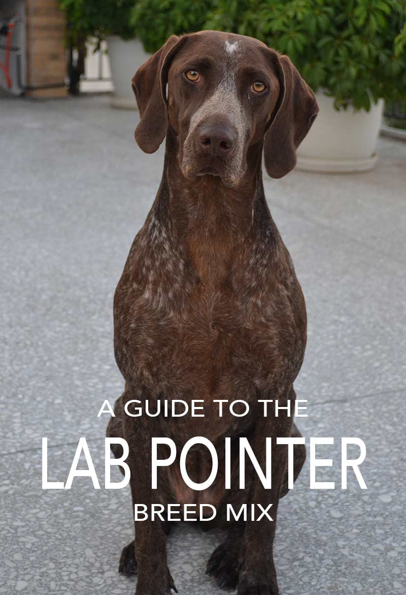 Lab Pointer Mix - Is This The Right Dog For You