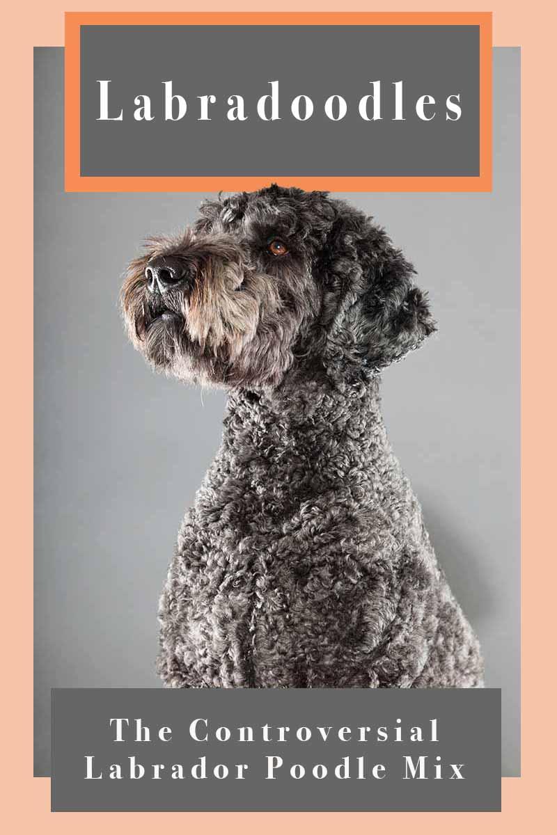 Labradoodles - The Controversial Labrador Poodle Mix