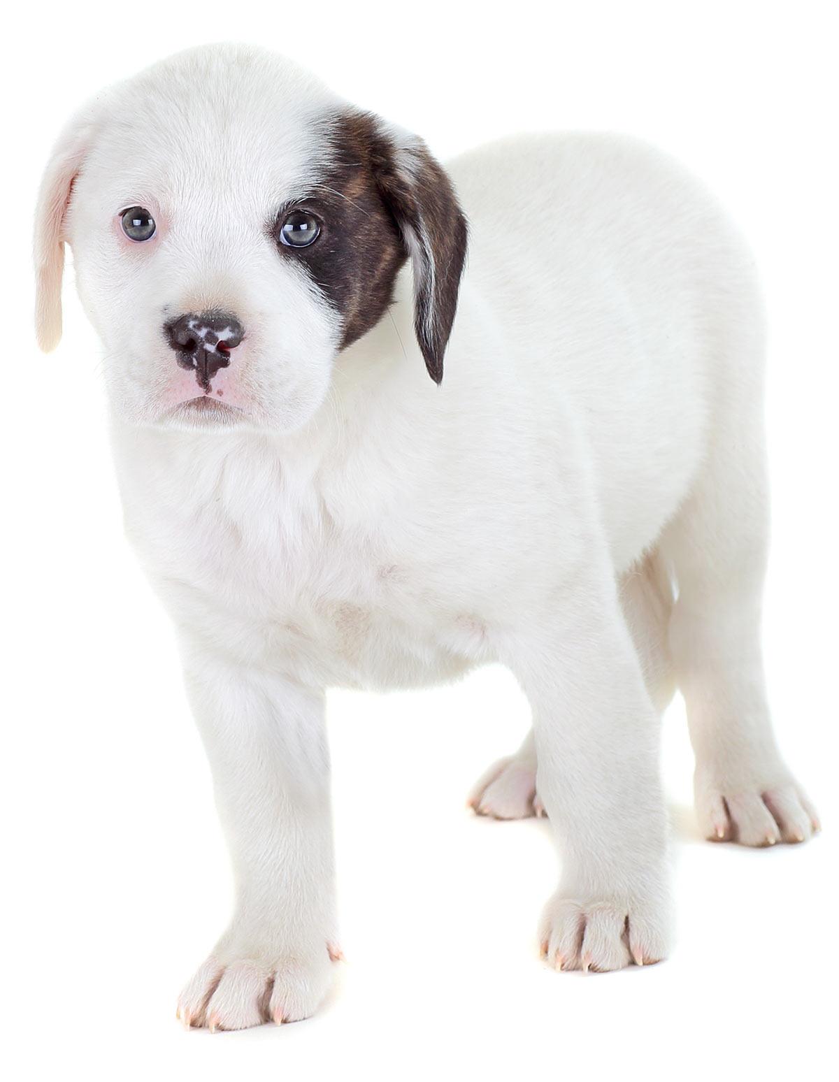 bulldog lab mix
