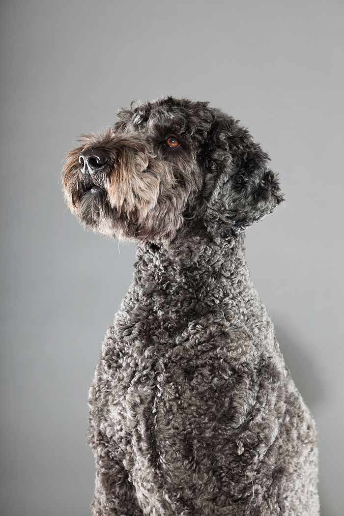 labradoodle with clipped coat